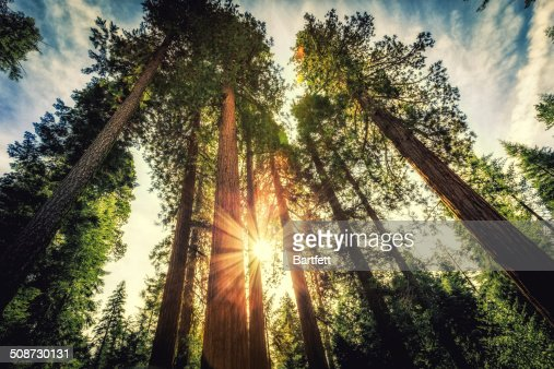 Tall Forest of Sequoias : Stock Photo