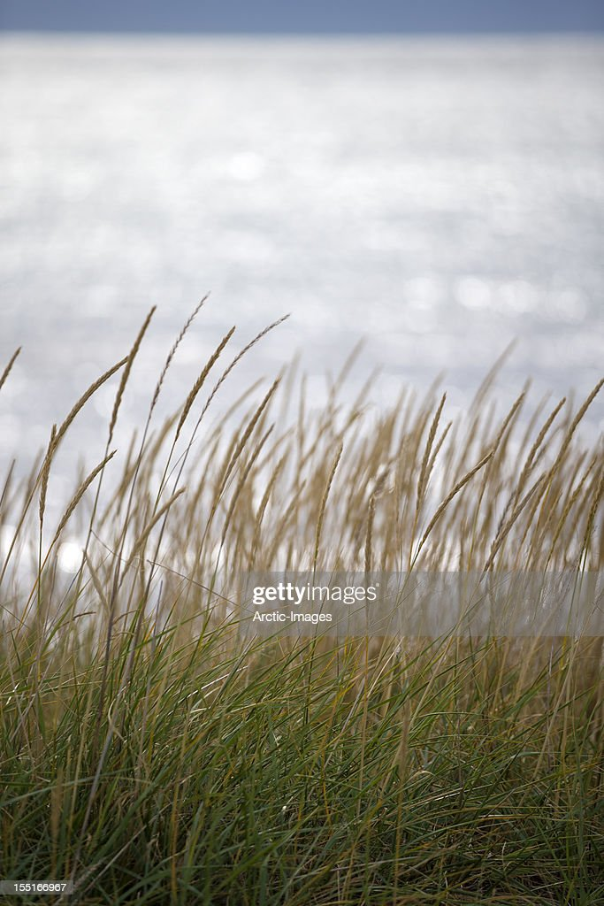 Tall grass by the sea : Stock Photo