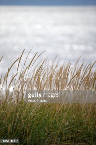 Tall grass by the sea : ストックフォト