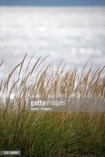 Tall grass by the sea : Bildbanksbilder