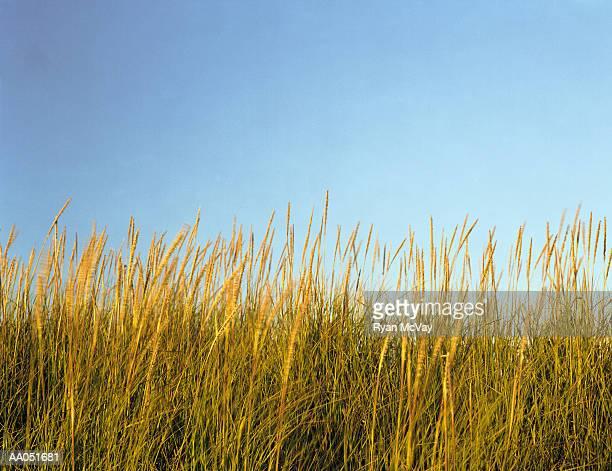 Tall grass, close-up, Long Beach, Washington, USA (blurred motion)