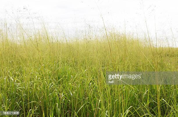 Tall grass in a field
