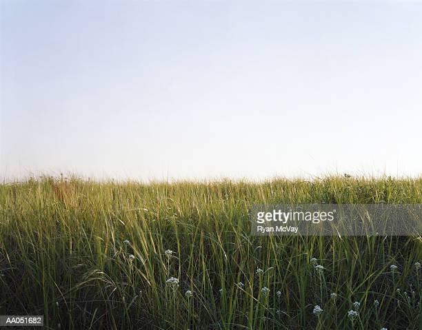 Tall grass, Long Beach, Washington, USA