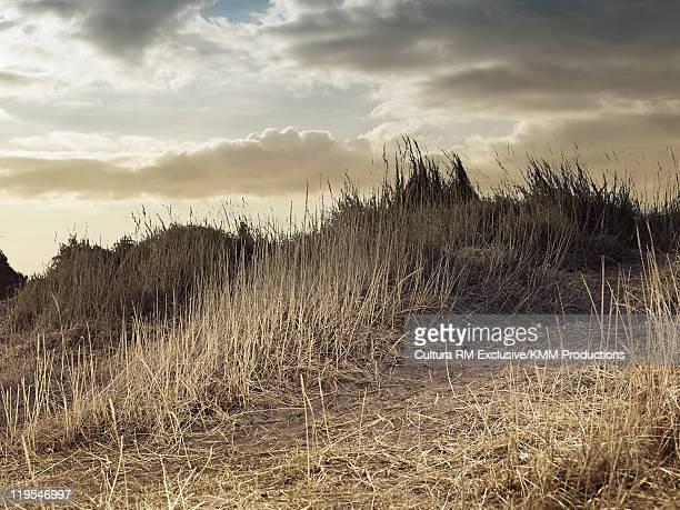 Tall grass on sand dune