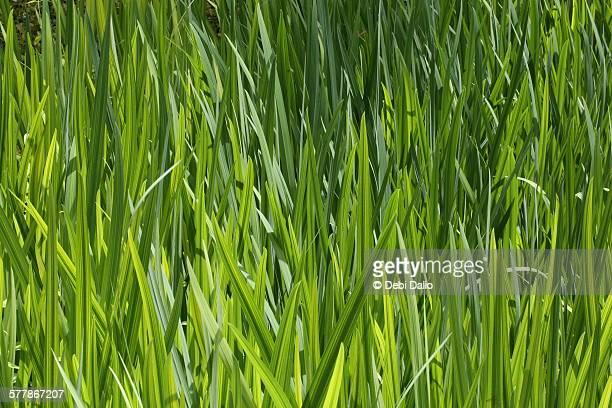 Tall Green Grass Blades Close-up