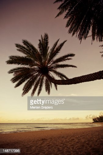 Tall hanging palm tree on Sunset Beach in morning.