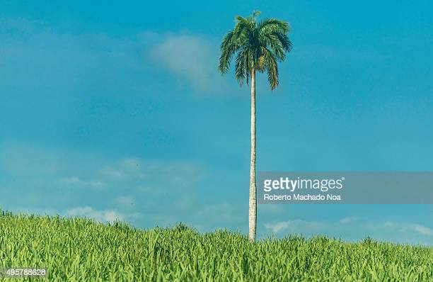 Tall Palm tree in a sugarcane field with cloudy blue sky in the background Roystonea regia also known as the Cuban royal palm is the national tree of...