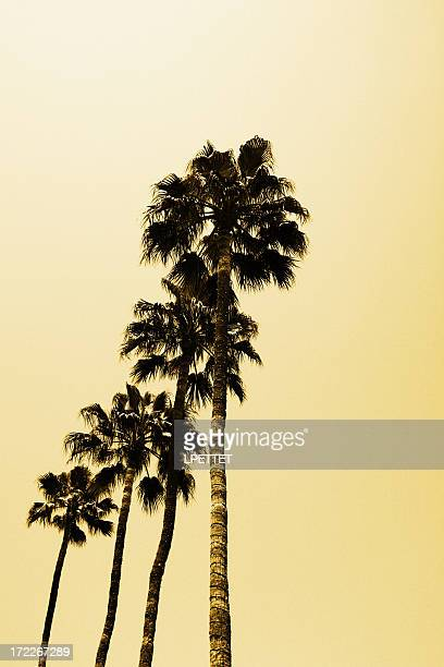Tall Palm Trees in Beverly Hills Los Angeles