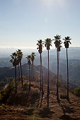 Tall palm trees standing in the Hollywood Hills