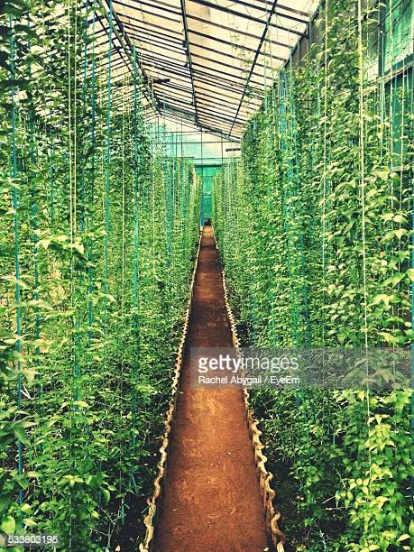 Tall Plants Growing In Greenhouse