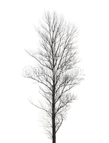 gro e poplar baum ohne bl tter im winter isoliert auf weiss stock foto thinkstock. Black Bedroom Furniture Sets. Home Design Ideas