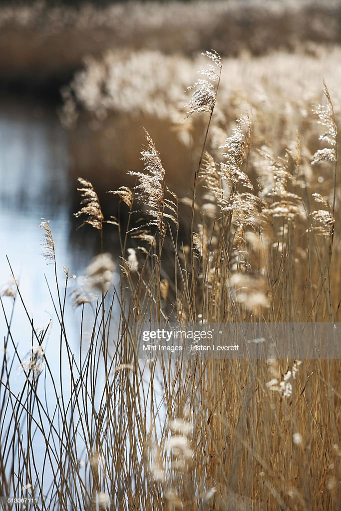 Tall reed stalks and feathery seedheads growing in shallow water in the fens near Shettisham in Norfolk.