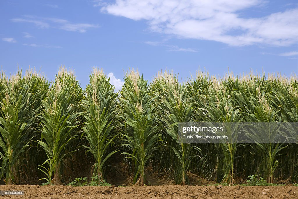 Tall Rows of Corn
