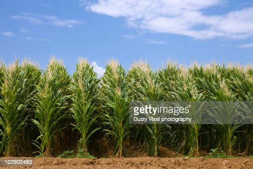 Tall Rows Of Corn Stock Photo | Getty Images
