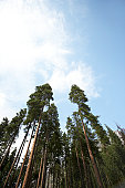 Tall spruce trees and sky