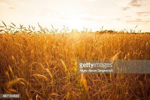 Tall stalks of wheat in crop field