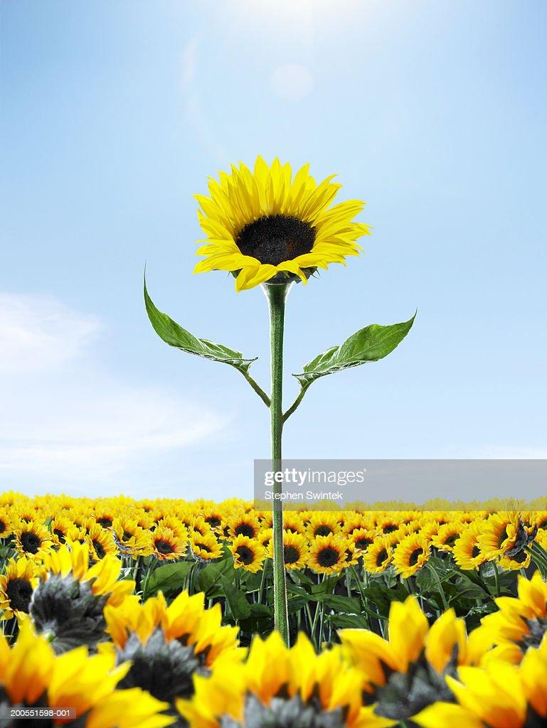 Tall sunflower among small sunflower : Stock Photo