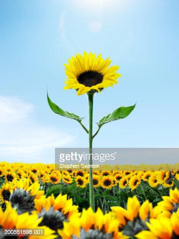Tall Sunflower Among Small Sunflower Stock Photo | Getty Images