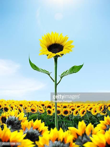 Tall sunflower among small sunflower