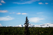 A tree taller than the others in the forest of Denali National Park, Alaska