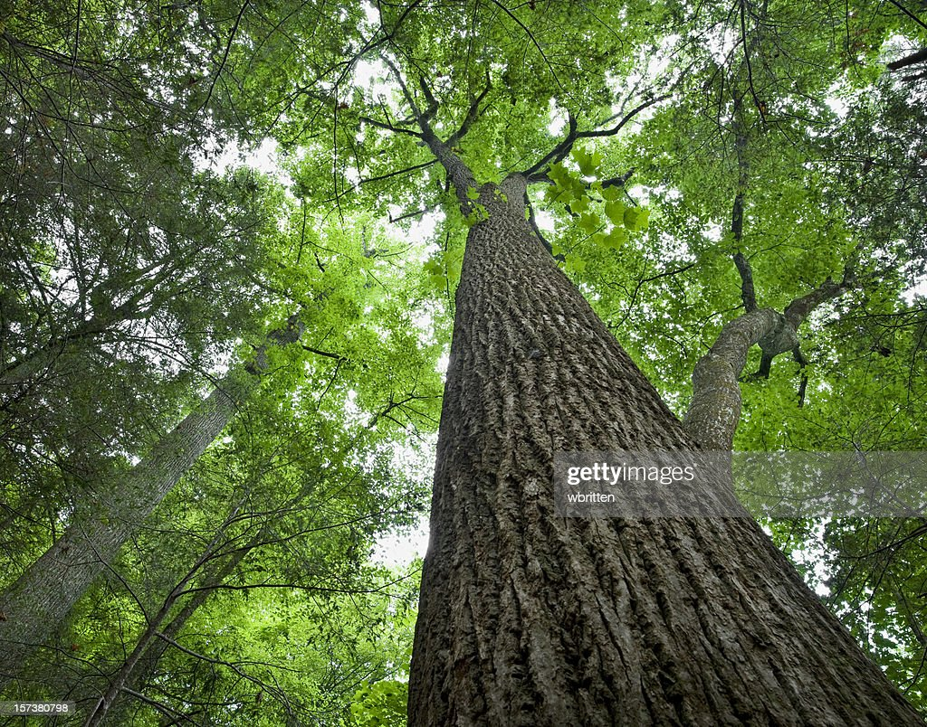 Tall Tree in the Forest Primeval