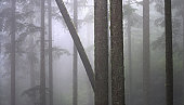 Tall Trees in the Fog