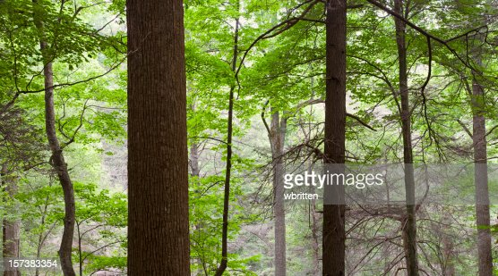 Tall Trees in the Forest Primeval Oversize panorama