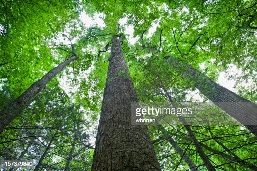 Tall Trees in the Forest Primeval