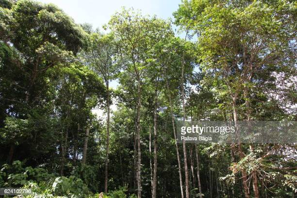 Tall trees of the rain forest French Guiana is haven for plants and animals with ninety percent of the area under tropical rainforests the country...