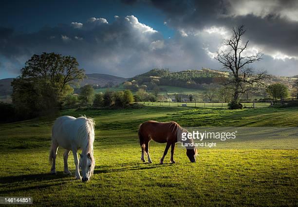 Talybont ponies