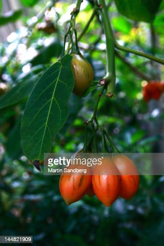 Tamarillo cherry stock photos and pictures getty images - Cereja Tamarillo Imagens E Fotografias De Stock Getty Images
