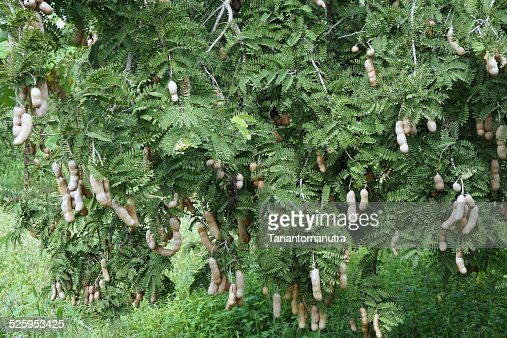 tamarind tree stock photo  getty images, Beautiful flower