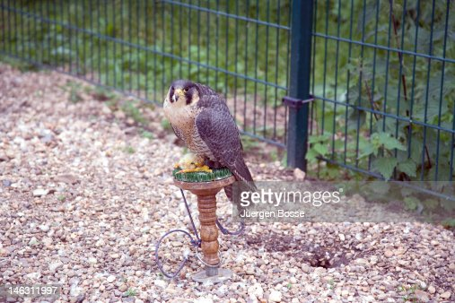Tame hawk at a falconry : Stock Photo