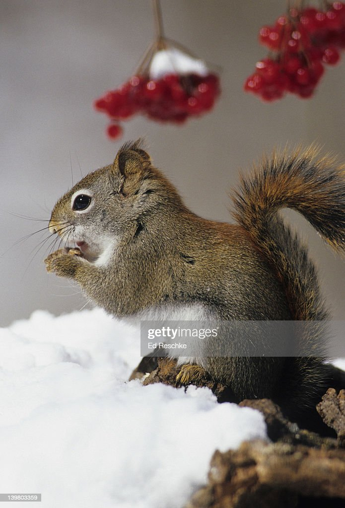 RED SQUIRREL, Tamiasciurus hudsonicus. Eating in snow. Primarily an inhabitant of evergreen forests. Noisy little squirrel, ratchet-like call.  Michigan