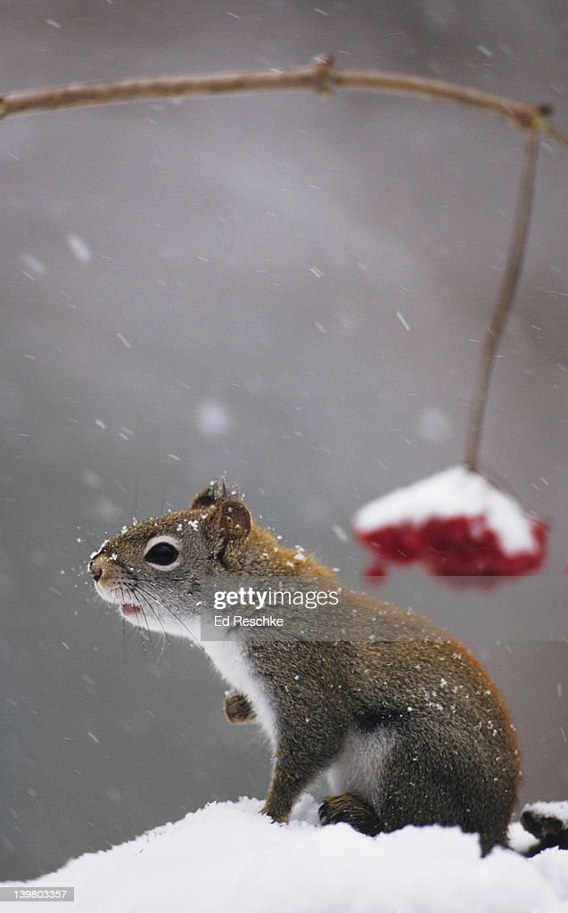 RED SQUIRREL, Tamiasciurus hudsonicus. In snow. Primarily an inhabitant of evergreen forests. Noisy little squirrel, ratchet-like call.  Michigan