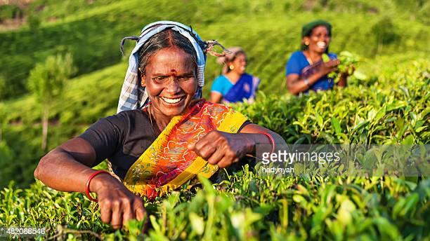Tamil Musiker sammeln Teeblätter auf plantation, südlichen Indien