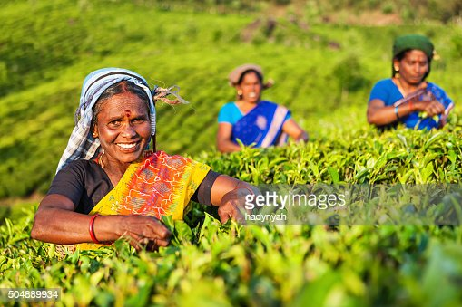 Tamil pickers collecting tea leaves on plantation, Southern India