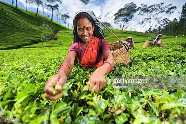 Tamil pickers plucking tea leaves on plantation