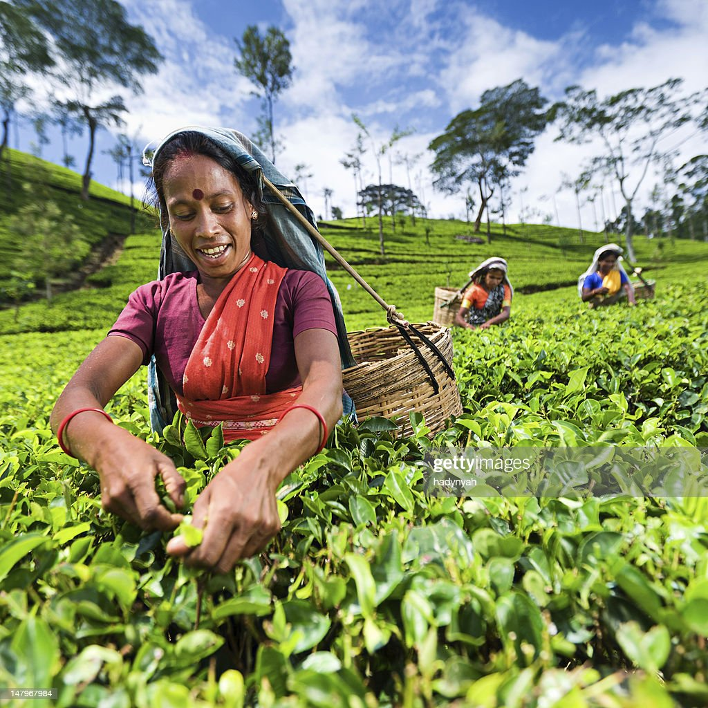 Tamil pickers collecting tea leaves on plantation : Stock Photo