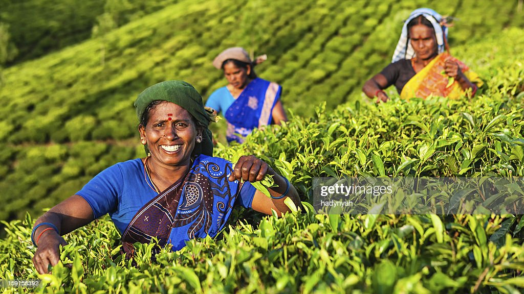 Tamil pickers plucking tea leaves on plantation, Southern India : Stock Photo