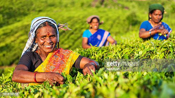Tamil pickers plucking tea leaves on plantation, Southern India