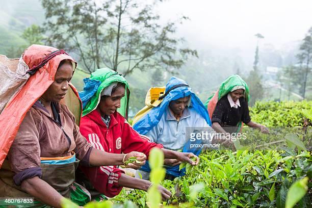 Tamil pickers plucking tea leaves on Sri Lanka tee plantation