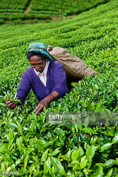 Tamil tea pickers collecting leaves near Nuwara Eliya, Sri Lanka