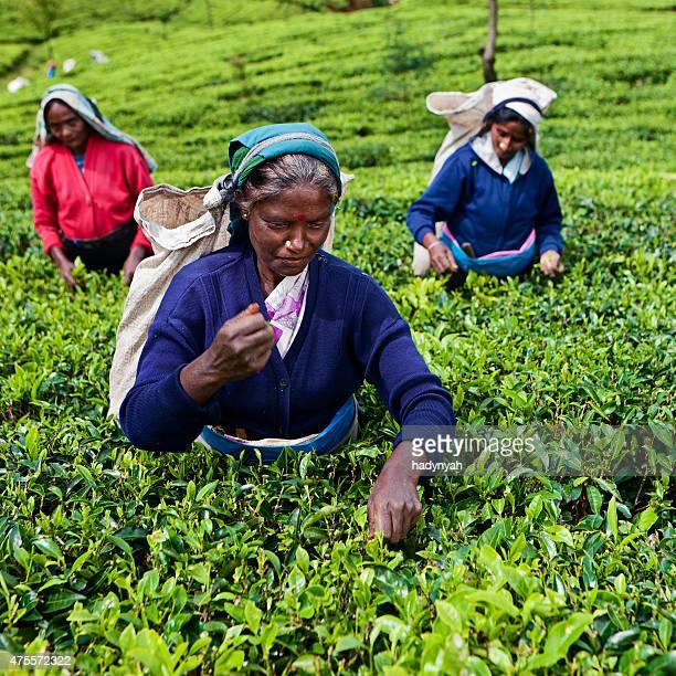 Tamil tea pickers collecting leaves on Ceylon