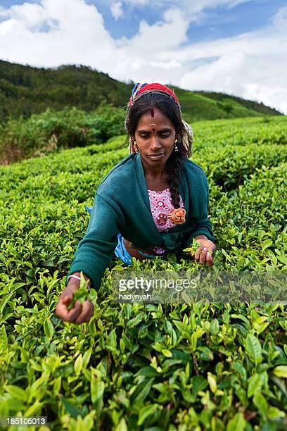 Tamil tea pickers collecting leaves, Sri Lanka