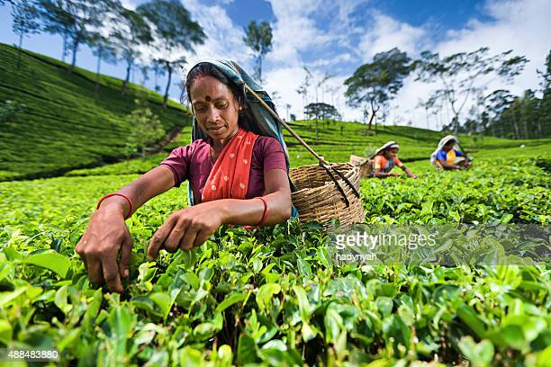 Tamil woman collecting tea leaves on plantation