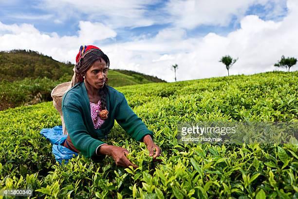 Tamil woman collecting tea leaves, Sri Lanka