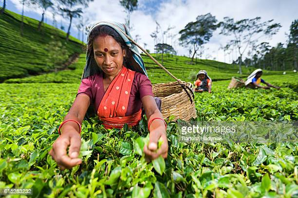 Tamil women collecting leaves near Nuwara Eliya, Ceylon