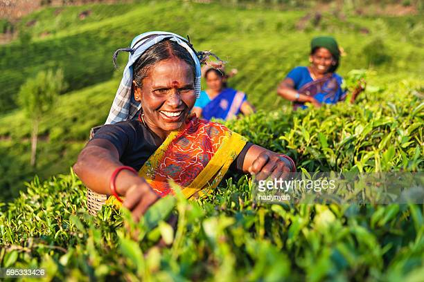 Tamil women collecting tea leaves on plantation, Southern India
