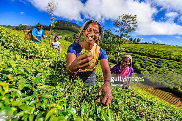 Tamil women plucking tea leaves on plantation, Ceylon